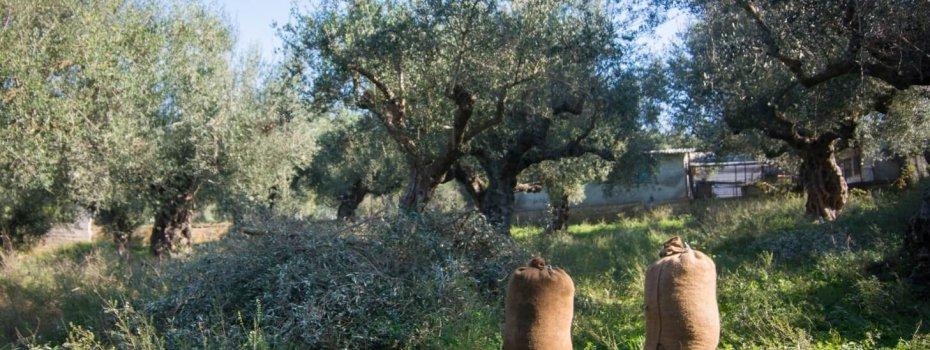 Une fois le travail terminé, les olives sont stockées dans des sacs de jute