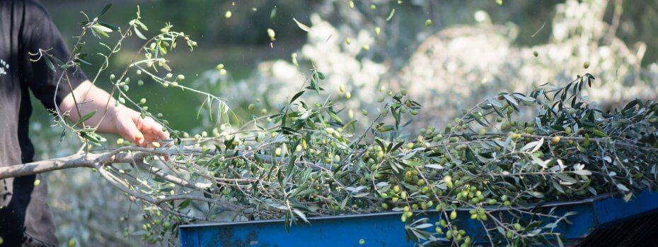 Récolte de l'olive de son rameau