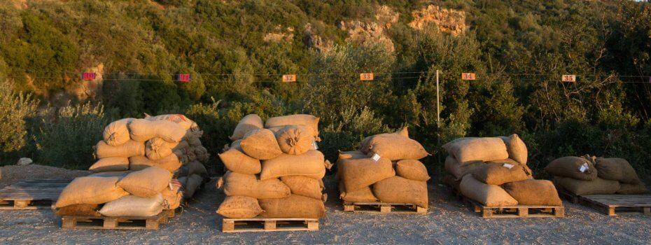 Les olives amenées au pressoir afin d'en extraire leurs jus